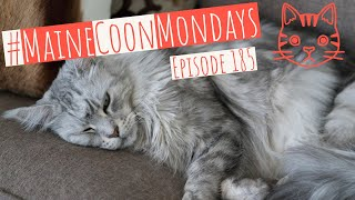 #MaineCoonMondays – Episode 185