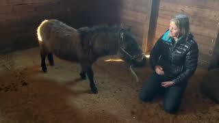 Working with a feral mini mule, Samwise