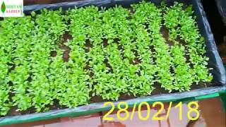 زراعة الكزبرة القزبر في المنزل الجزء 1