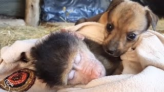 Puppy Really, Really Wants To Snuggle With Monkey