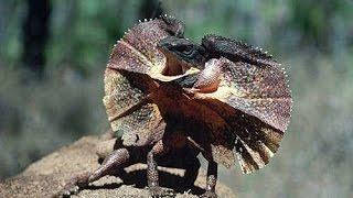Плащеносная ящерица - Frilled Lizard (Энциклопедия животных)