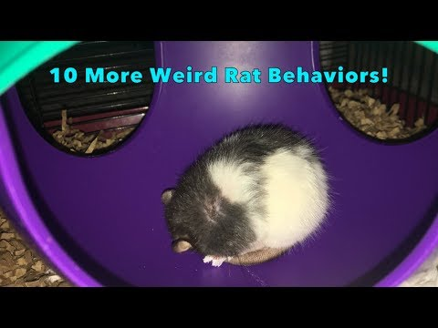10 More Weird Yet Totally Normal Behaviors From Pet Rats