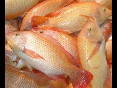 Download video c mo cultivar cachama y tilapia for Como cultivar tilapia en estanques