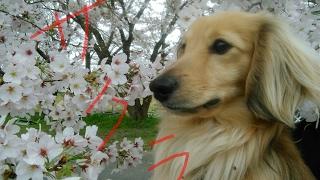 今年の桜もきれいでした!! チャンネル登録、高評価お願いします!