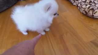 "Pomeranian Kennel "" Little Miracle."""