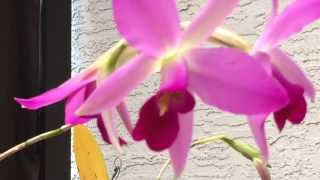 Easy Cattleya Type Orchids: Laelia anceps Care and Culture