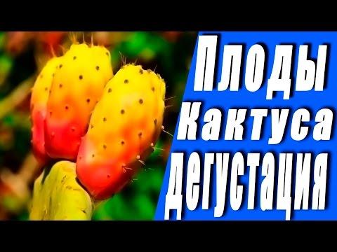 Как нужно правильно есть Плоды Кактуса!!! Осторожно!!!