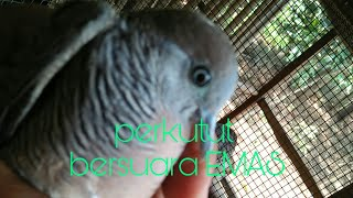 Ciri ciri burung perkutut bersuara bagus/merdu/emas