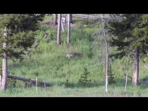 Bear and coyote in Yellowstone
