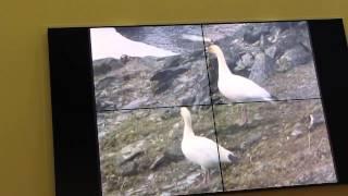 Никита Овсянников, Фото и видеосъемка диких животных Арктики  часть-3