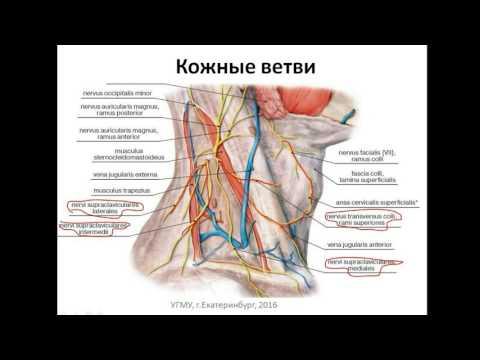 Шейное сплетение: формирование, ветви, области иннервации