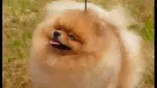 "BISS Champion Pomeranian  ""Donny"""