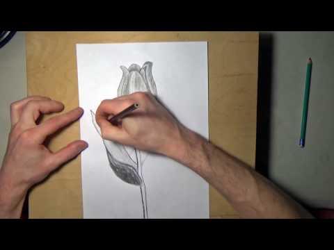 Как рисовать тюльпан карандашом поэтапно