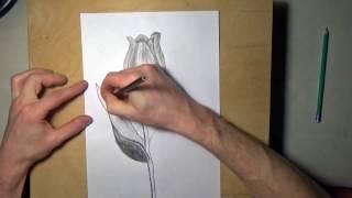 Как нарисовать тюльпан карандашом, поэтапно для начинающих