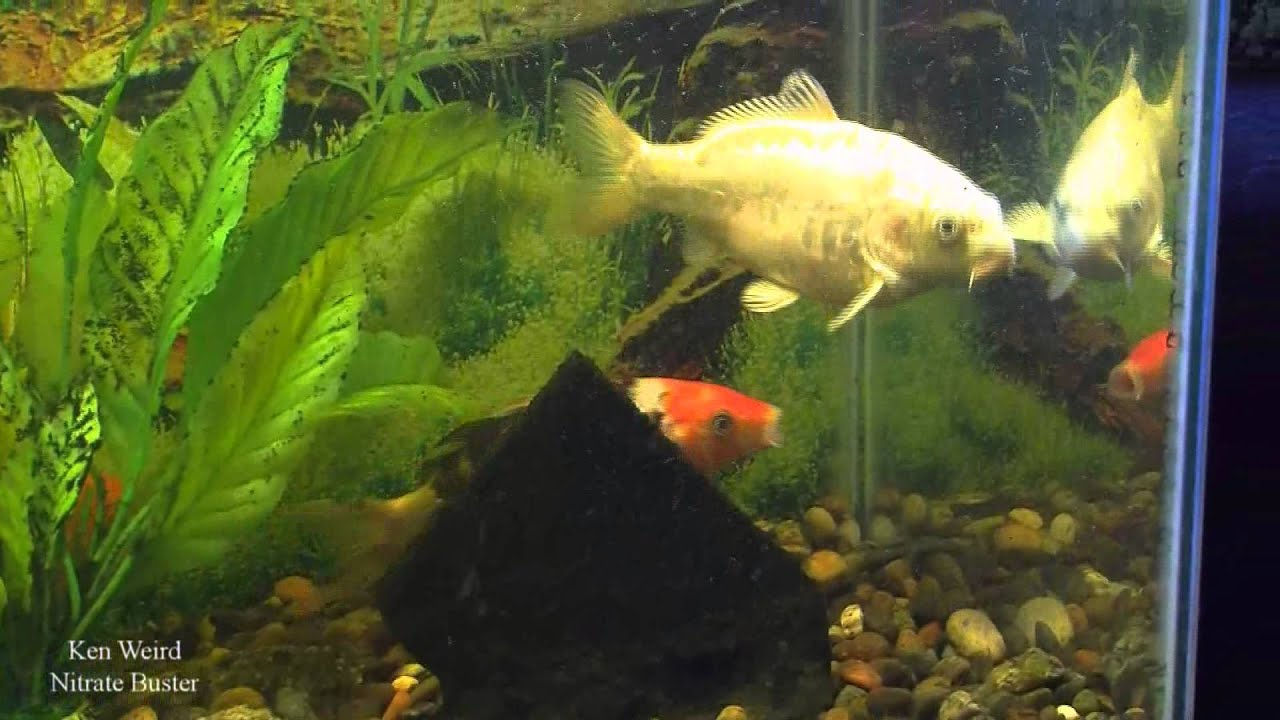 Freshwater fish growth rates - Koi Growth Rate Follow Up Second Video
