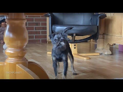 Бельгийский гриффон - из России в Норвегию. Griffon Bruxellois. 2020. 4K | TACHPLANET