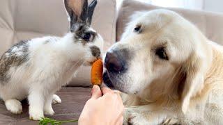 Golden Retriever Thinks He is a Rabbit