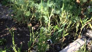 How to grow garlic chives