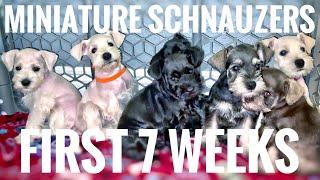 MINIATURE SCHNAUZER PUPPIES / FIRST 7 WEEKS ( Doggies Update #1 )