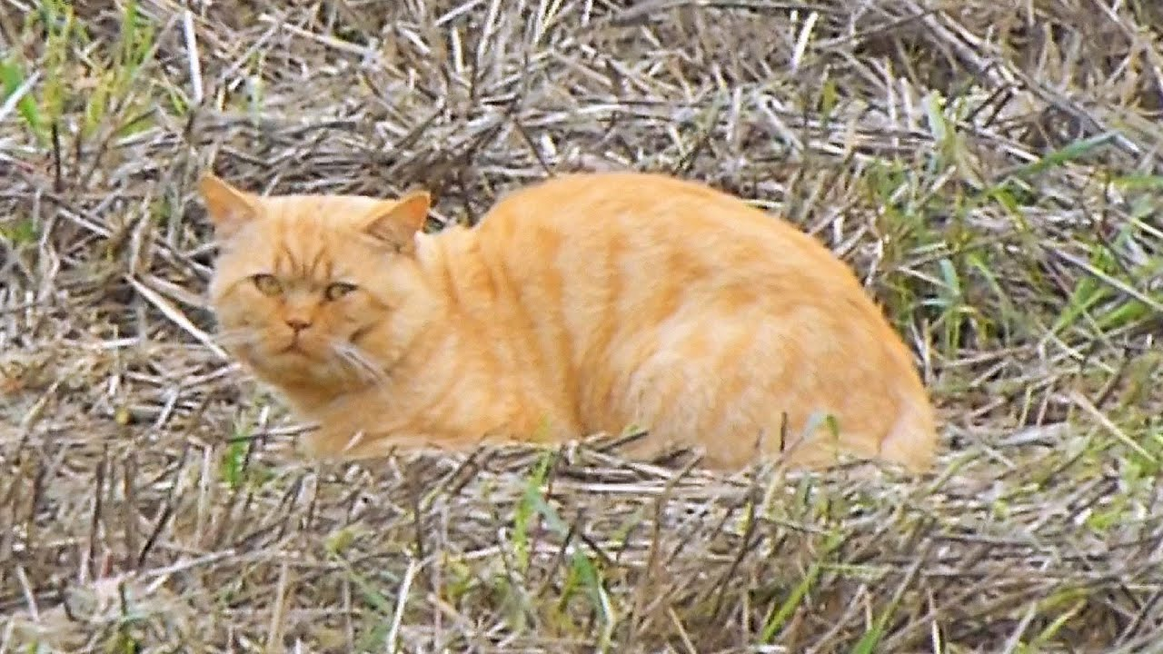 Fat Orange Cat In The Field