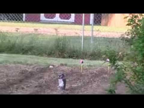 Crow Attacks Fake Owl In Garden. Funny.   YouTube