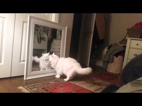 Fluffy white ragdoll playing with mirror