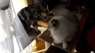 遠慮がちにちょっかいを出す猫 Provoking Rara with diffidence.