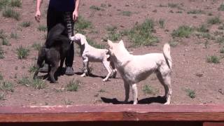 "This is a video of Kishu Ken ""Kishin"" (紀州犬), Dogo Argentino pupp..."