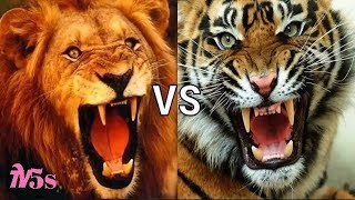 Tiger and lion, who will win ?