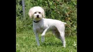 Бишон/Havanese (порода собак HD slide show)!