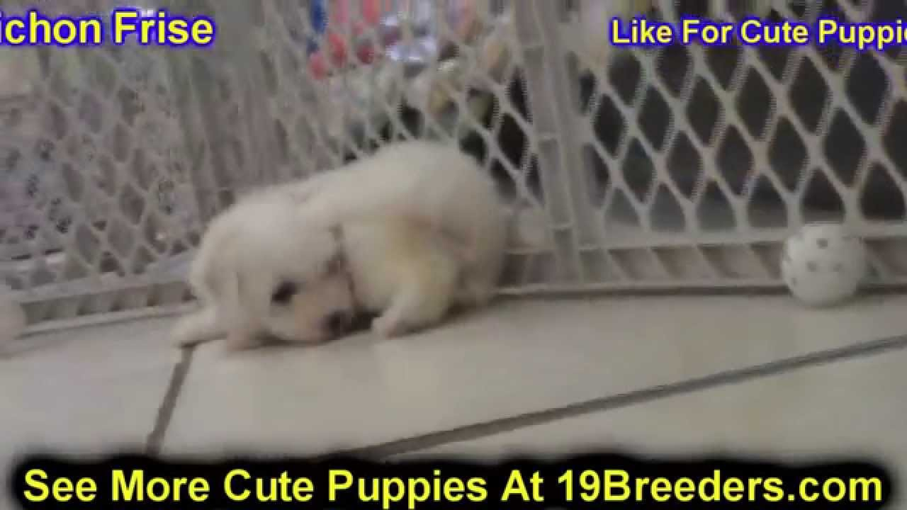 Bichon Frise, Puppies, Dogs, For Sale, In Albuquerque, New ...
