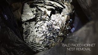 Bald Faced Hornet Nest Removal