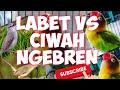 Masteran Labet Ngekek Vs Ciblek Sawah Ngebren Durasi Panjang Cocok Untuk Kicau Mania  Mp3 - Mp4 Download