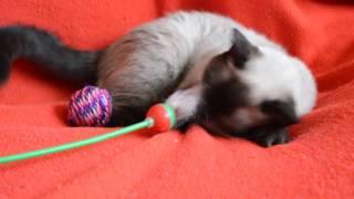 Купить шотландского котенка: котята для Вас.