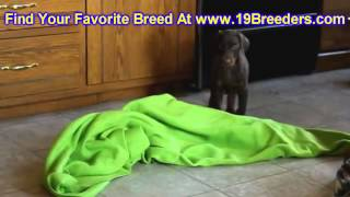 Doberman Pinscher, Puppies, For, Sale In Toronto, Canada, Cities, Montreal, Vancouver, Calgary