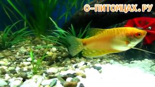 Гурами золотой (Trichogaster sp.) - o-pitomcax.ru
