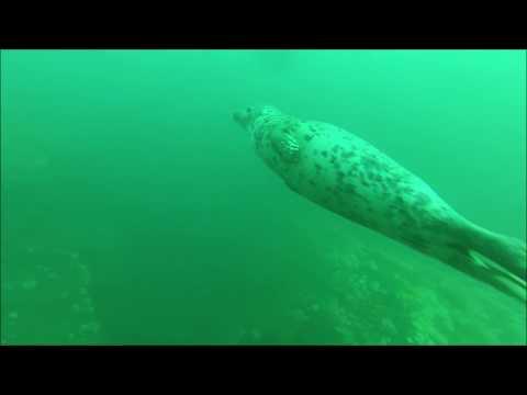 Fóka-Móka / Seal play -St. Abbs, Scotland- by zshark