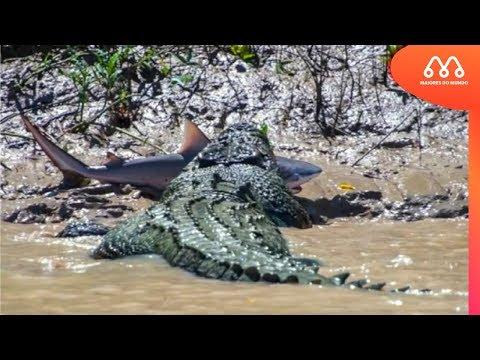 CROCODILO COMENDO TUBARÃO NA AUSTRALIA - MAIORES DO MUNDO