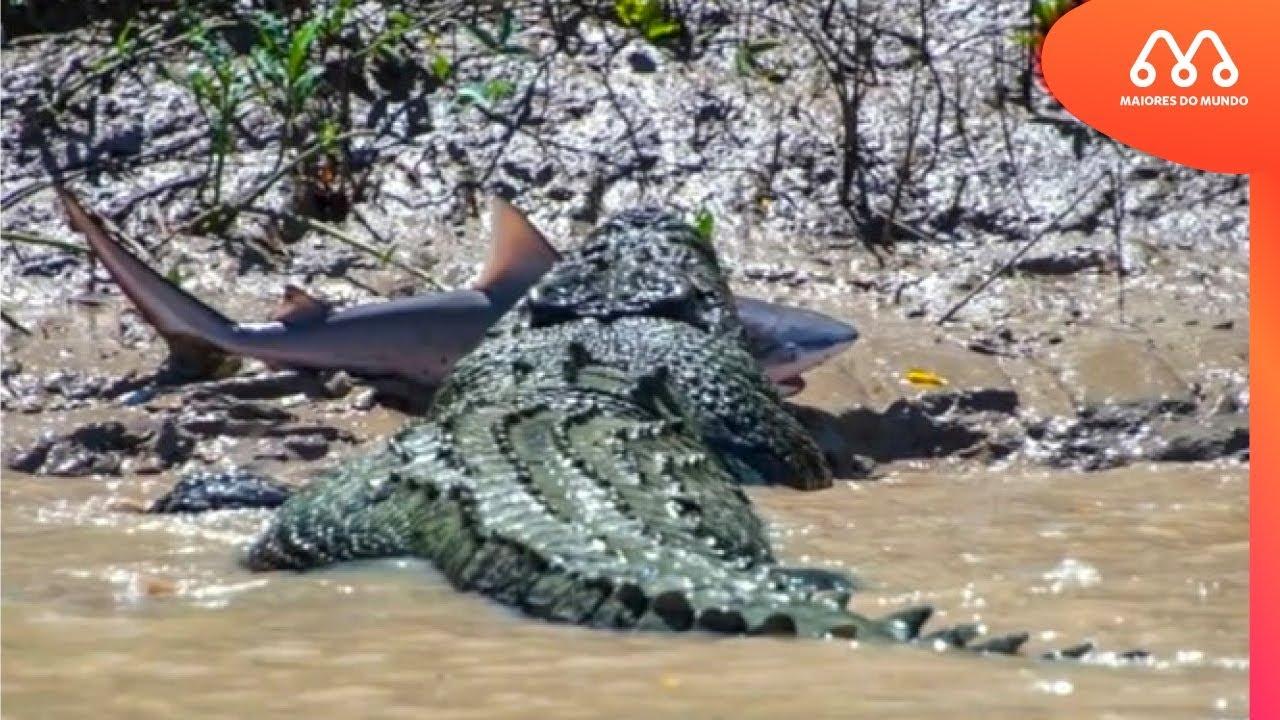 CROCODILO COMENDO TUBARÃO NA AUSTRALIA - MAIORES DO MUNDO - YouTube 4c8907cae3