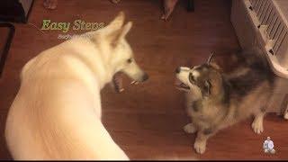 Alaskan Malamute Puppy Fighting With Big German Shepherd Dog