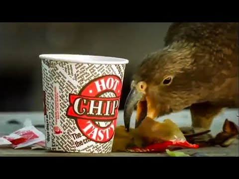 Kea Parrots Eat Fast Food | Kea | The Smartest Parrot | BBC