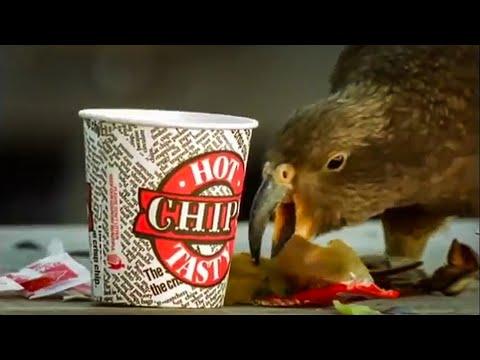 Kea Parrots Eat Fast Food   Kea   The Smartest Parrot   BBC