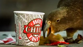 kea-parrots-eat-fast-food-kea-the-smartest-parrot-bbc