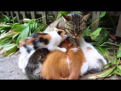 Kittens playing and drinking milk from mom on the street