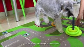 Just For Laughs:mini Schnauzer's Funny Attempt At Ring Toss