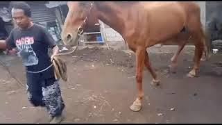Jasa Kawin Kuda # Alamat Malang - Jawa Timur
