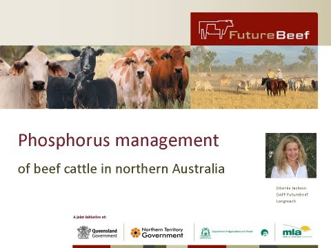 Phosphorus management of beef cattle in northern Australia