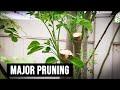 Moringa Tree 2 Weeks Later: After Major Cutting