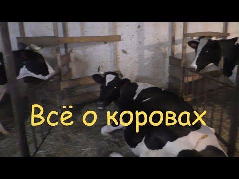 Как выбрать хорошую корову на молоко