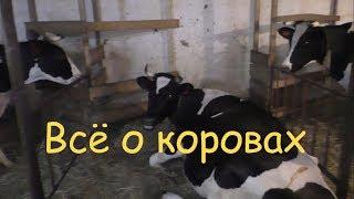 Как выбрать корову? Признаки молочной коровы. Как повысить надои молока.